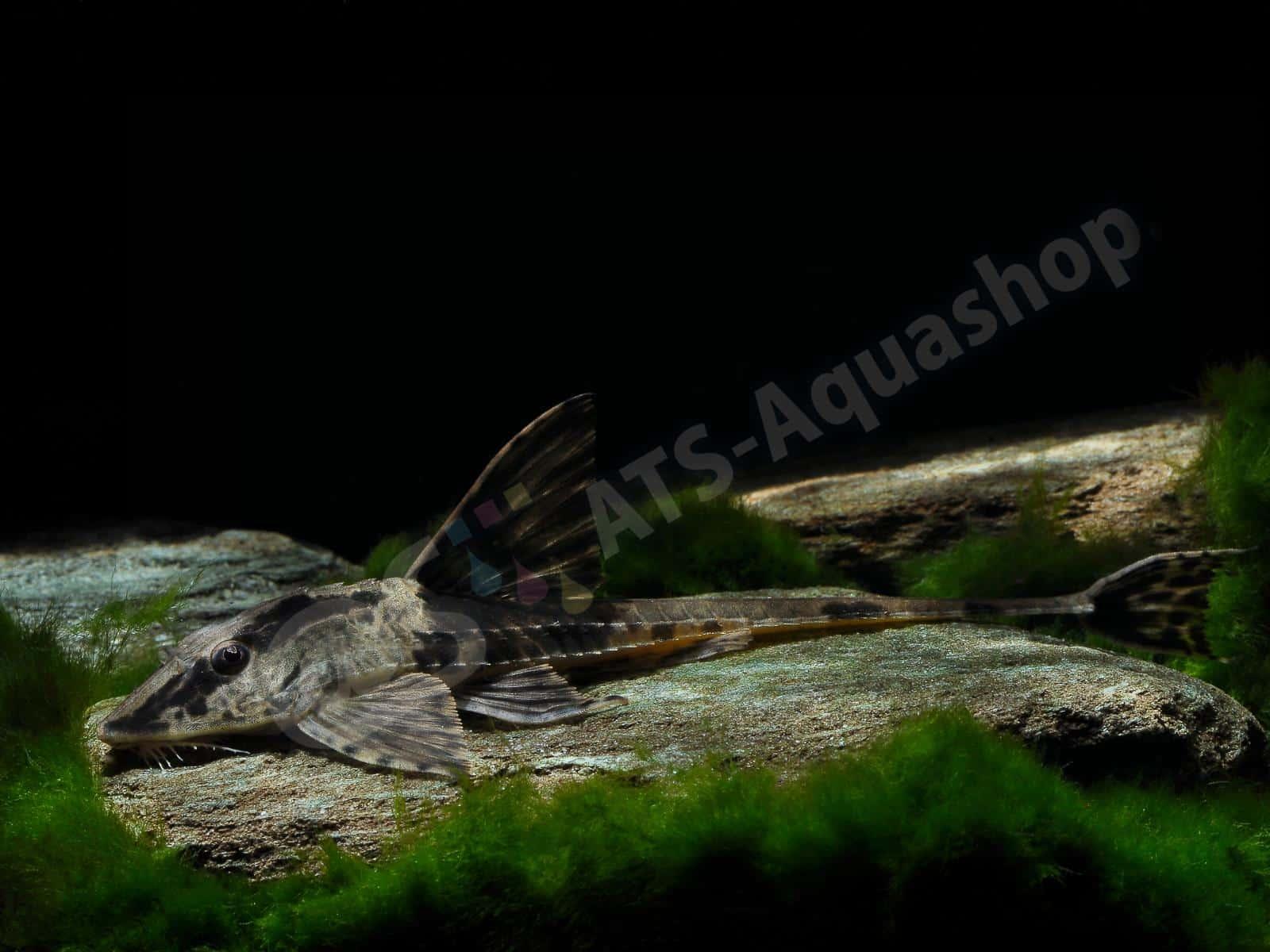 rineloricaria sp   rio atabapo  enrico richter 0064 8