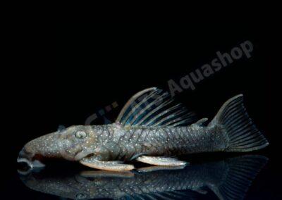 Aluminium: Spectrancistrus murinus