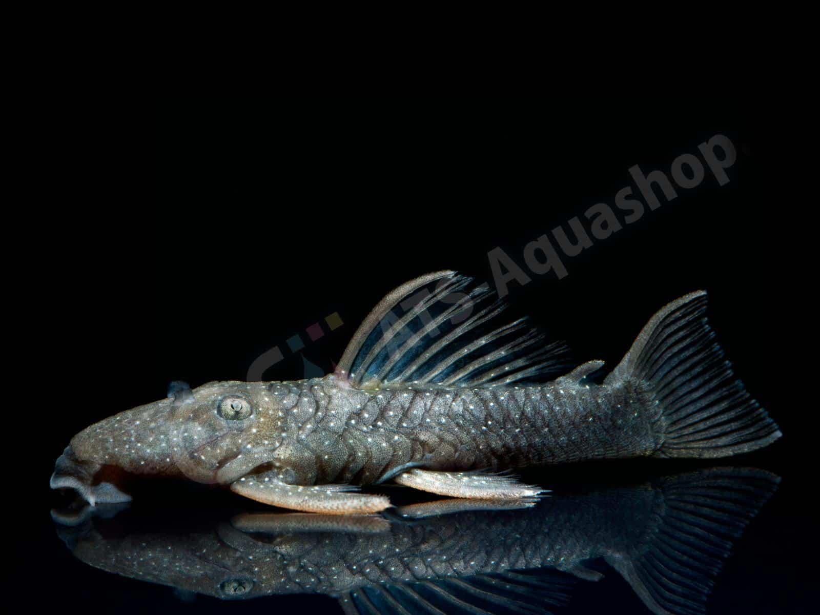 spectrancistrus murinus enrico richter 0292 7