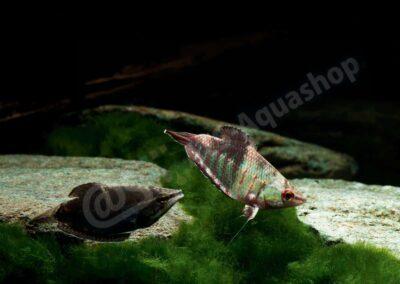Acrylic: Sphaerichthys vaillanti
