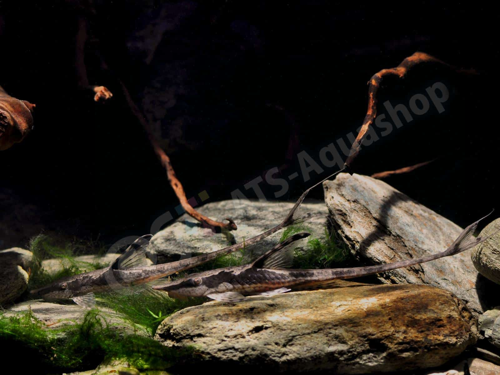 sturisomatichthys aureum enrico richter 0007 7