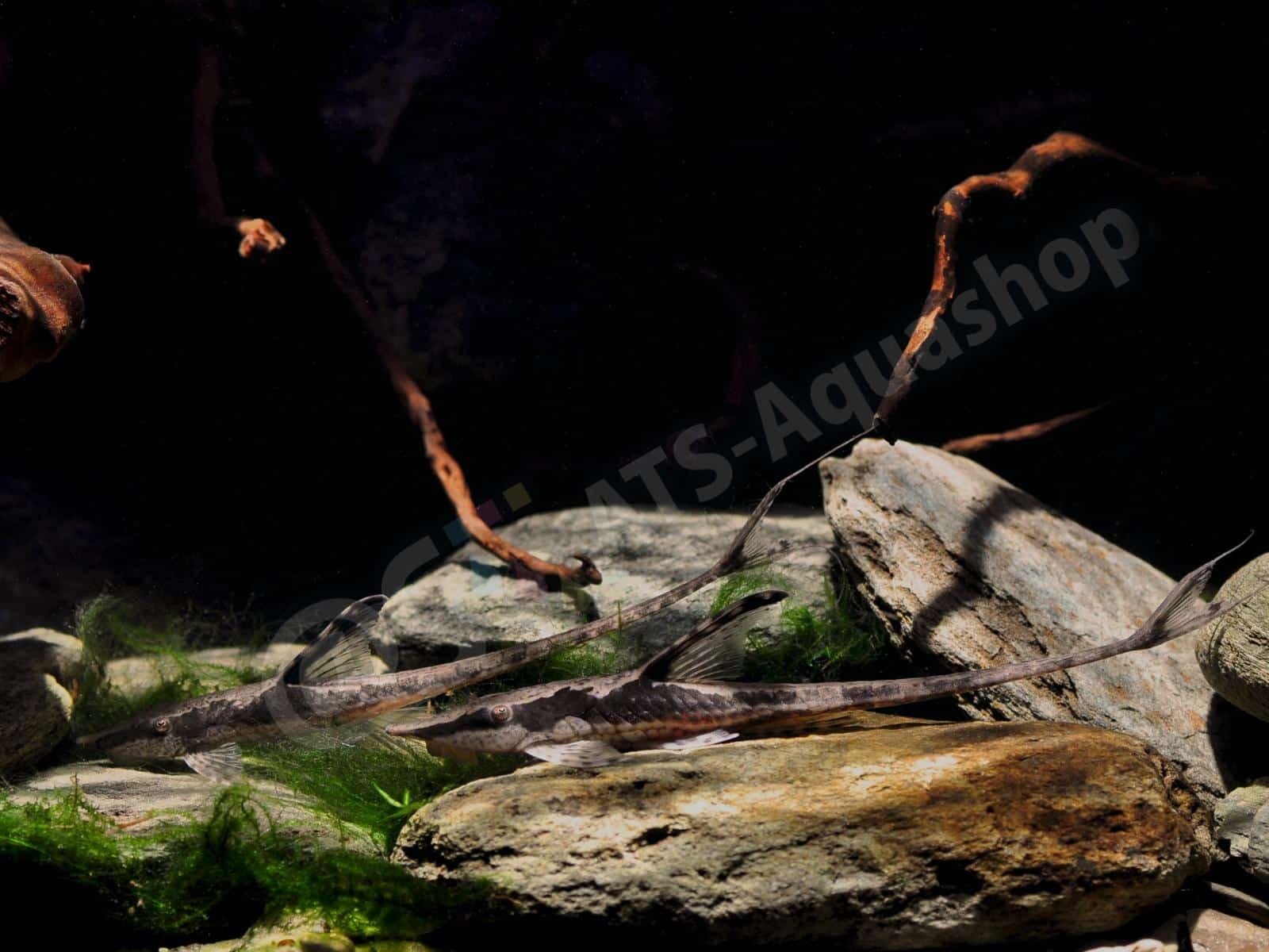 Canvas: Sturisomatichthys aureum