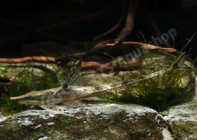 Leinwand: Sturisomatichthys aureum