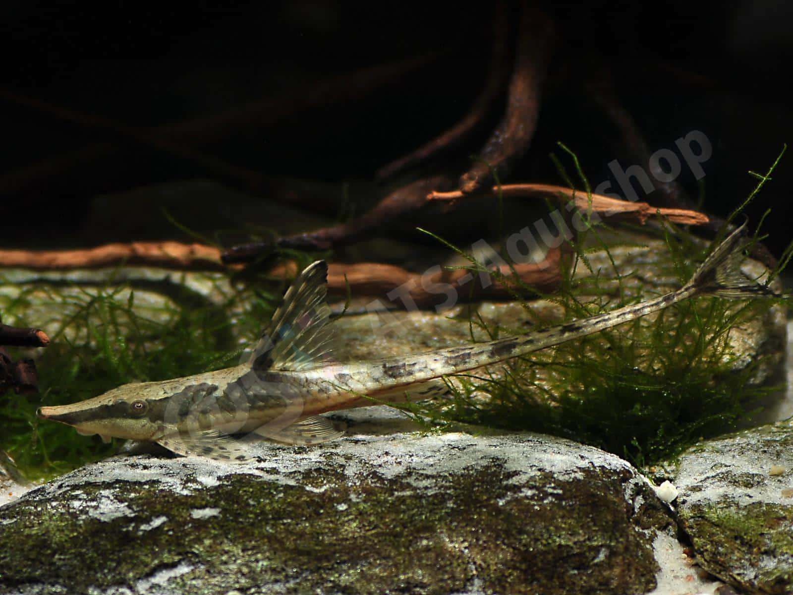 sturisomatichthys aureum enrico richter 0025 8