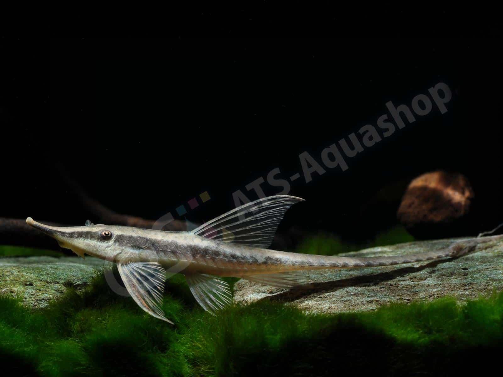 sturisomatichthys nigrirostrum  enrico richter 0060 7