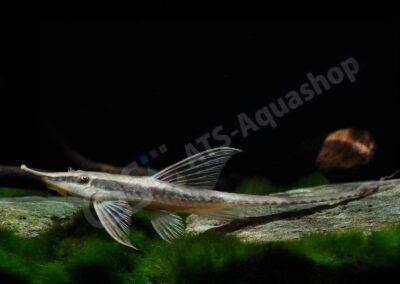 Leinwand: Sturisomatichthys nigrirostrum