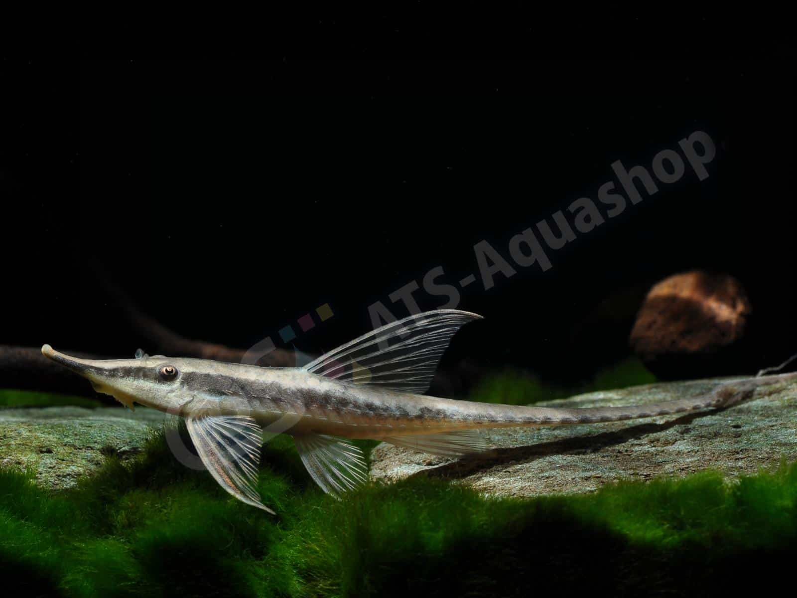 sturisomatichthys nigrirostrum enrico richter 0060 8