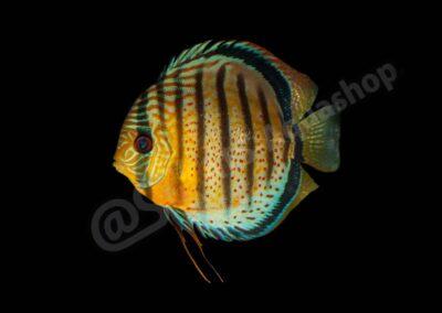 Acryl: Symphysodon aequifasciatus