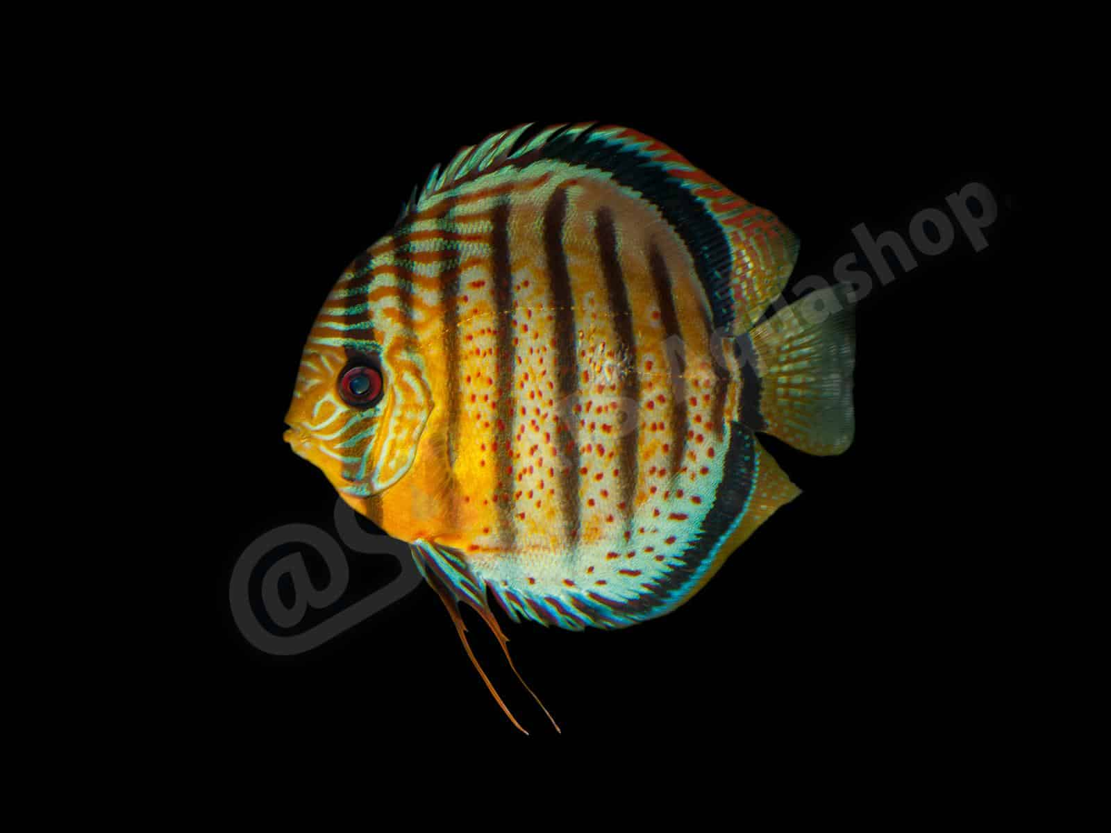 symphysodon aequifasciatus andreas tanke 0001 7
