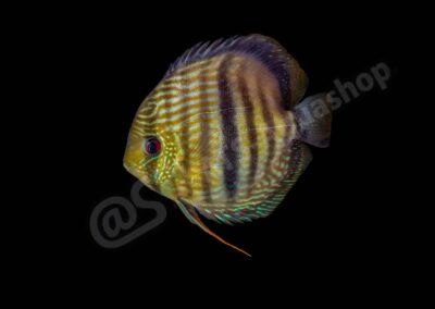 "Leinwand: Symphysodon diskus ""Nhamunda"""