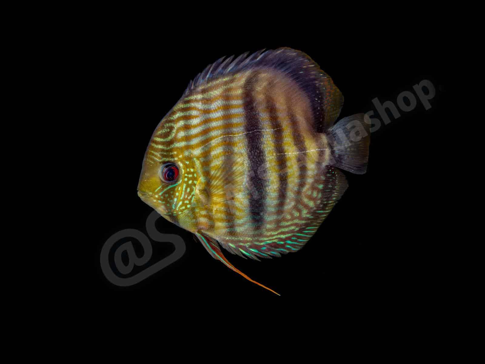 symphysodon diskus  nhamunda  andreas tanke 0095 8