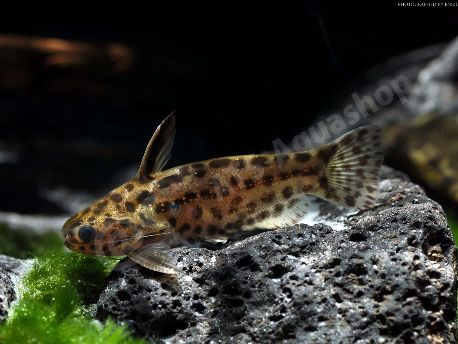 "Canvas: Trachelyichtys sp. ""Tapajos"""