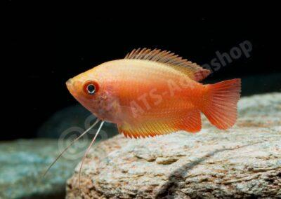 "Acryl: Trichogaster chuna ""Flame"""