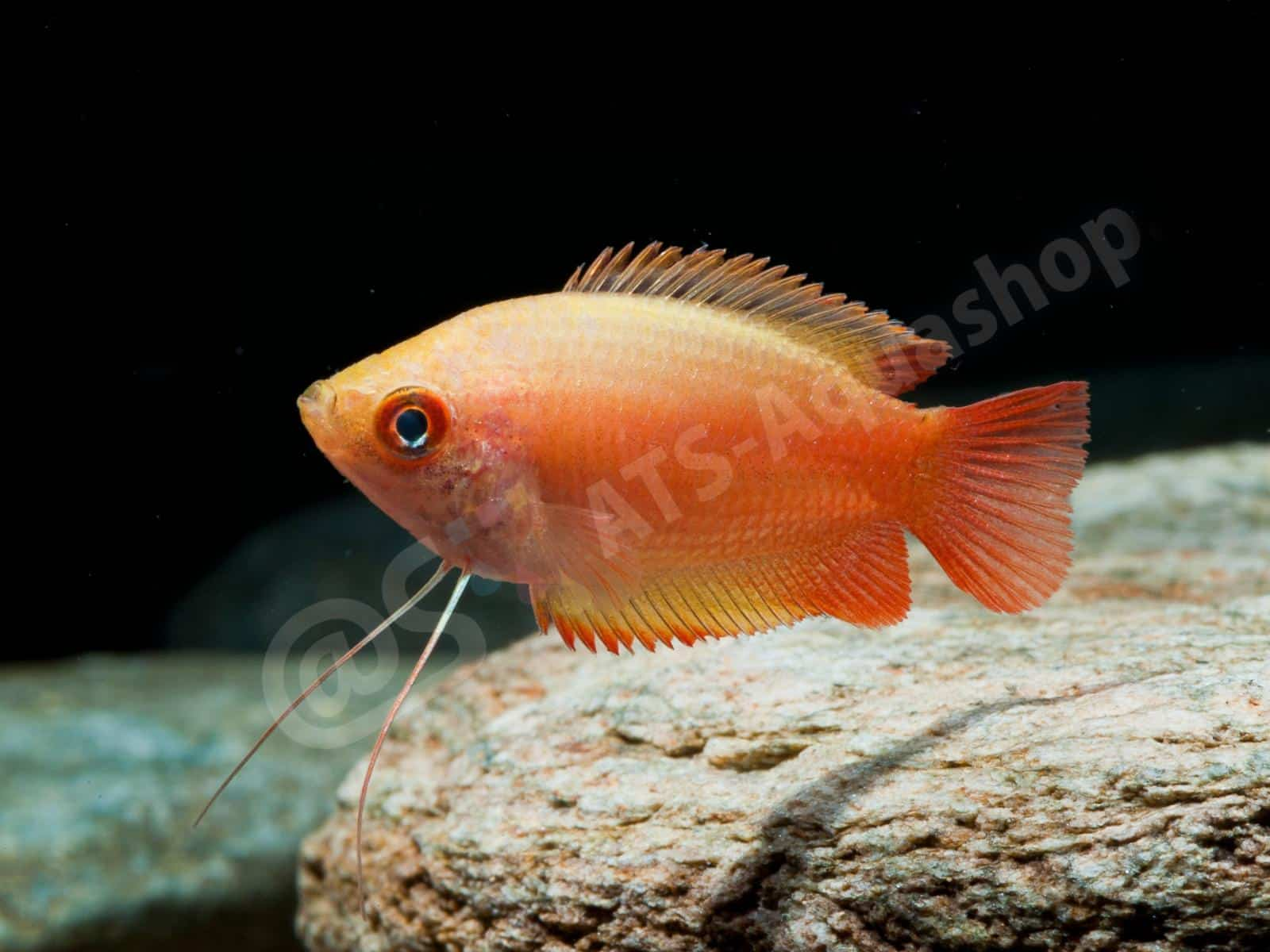 trichogaster chuna flame enrico richter 0102 8