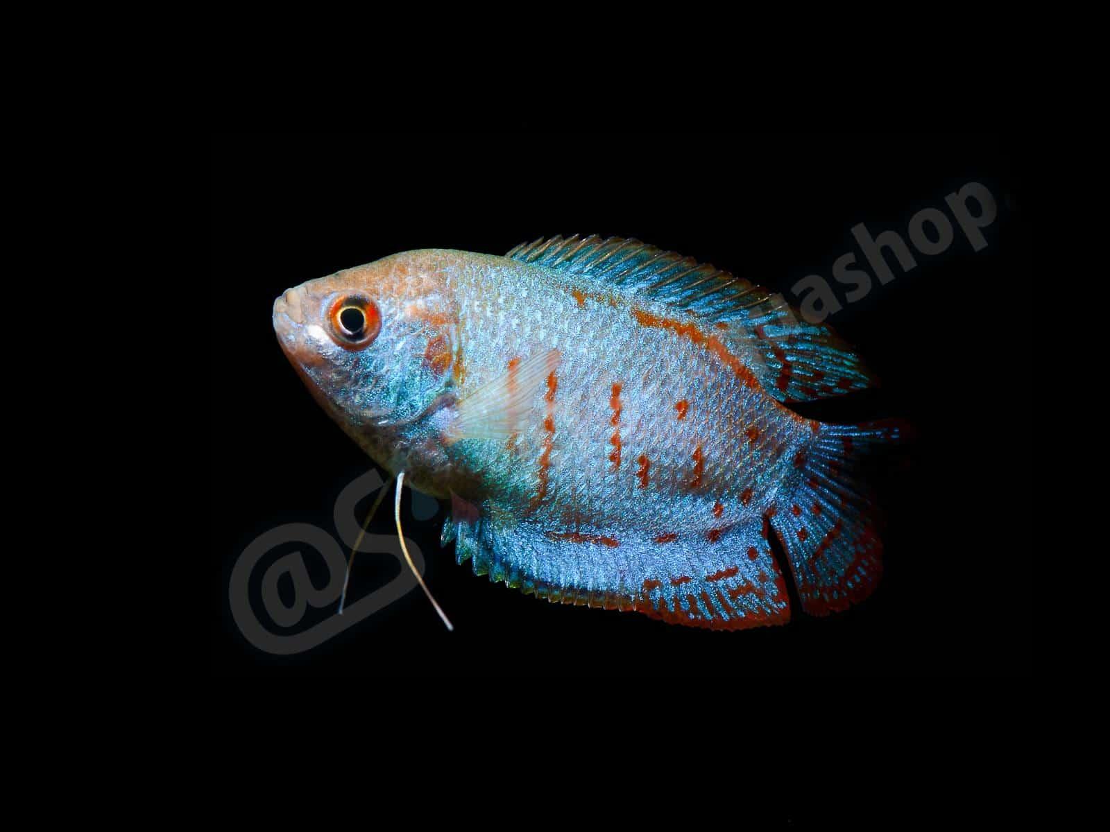 trichogaster lalius  coral blue  enrico richter 0101 11