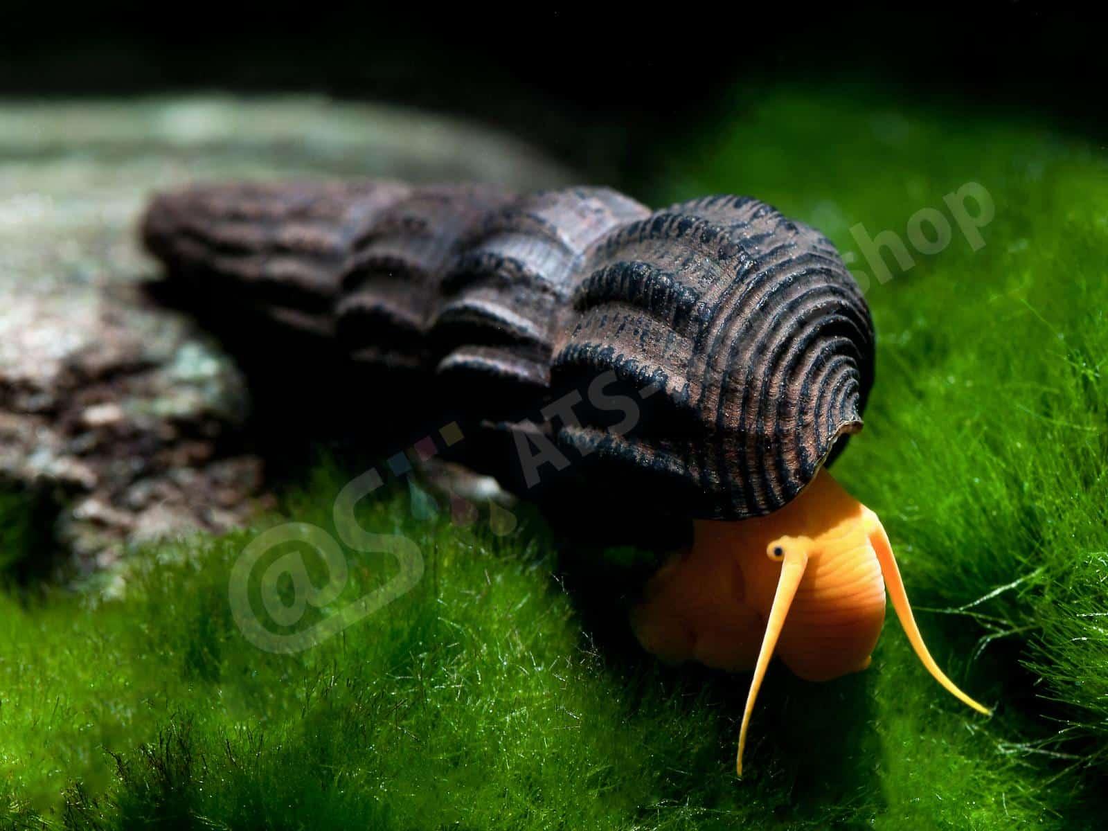 "Canvas: Tylomelania sp. ""Yellow"""