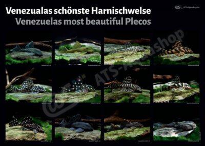 Poster: Venezuelas schönste Harnischwelse