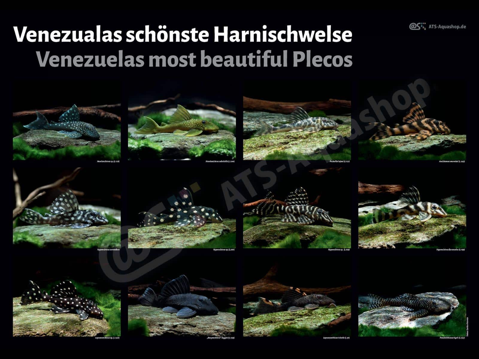 Posters: The most beautiful Plecos from Venezuela (Enrico Richter)