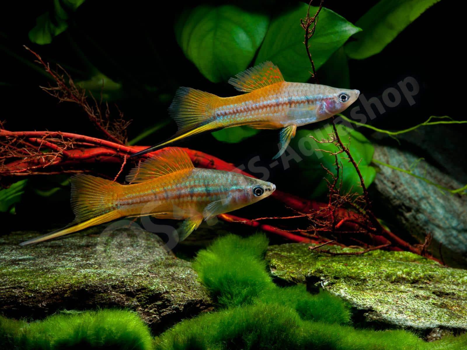 xiphophorus hellerii enrico richter 0299 6