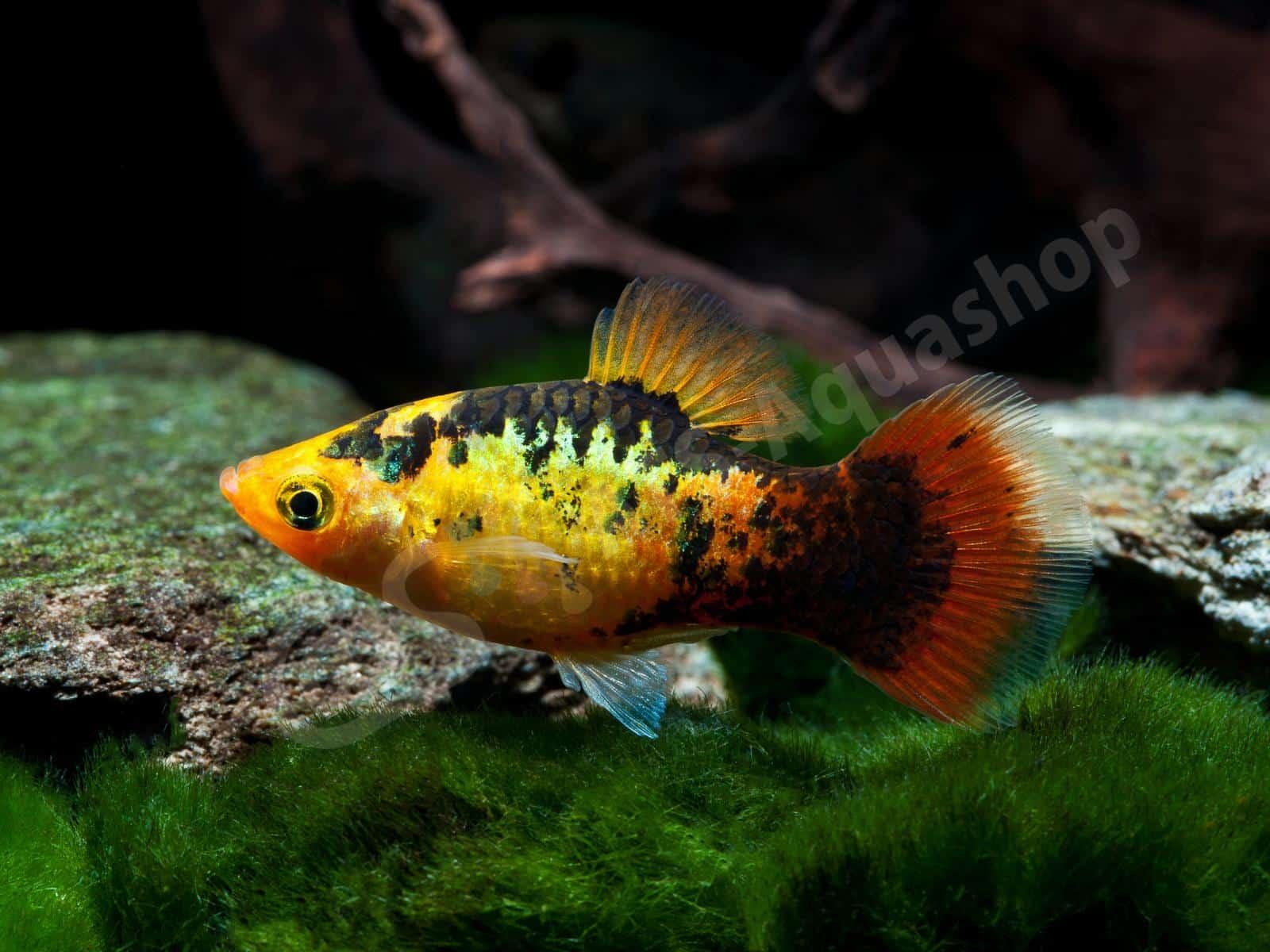 xiphophorus maculatus  calico  enrico richter 0117 8