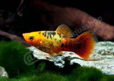 "Acryl: Xiphophorus maculatus ""Calico"""