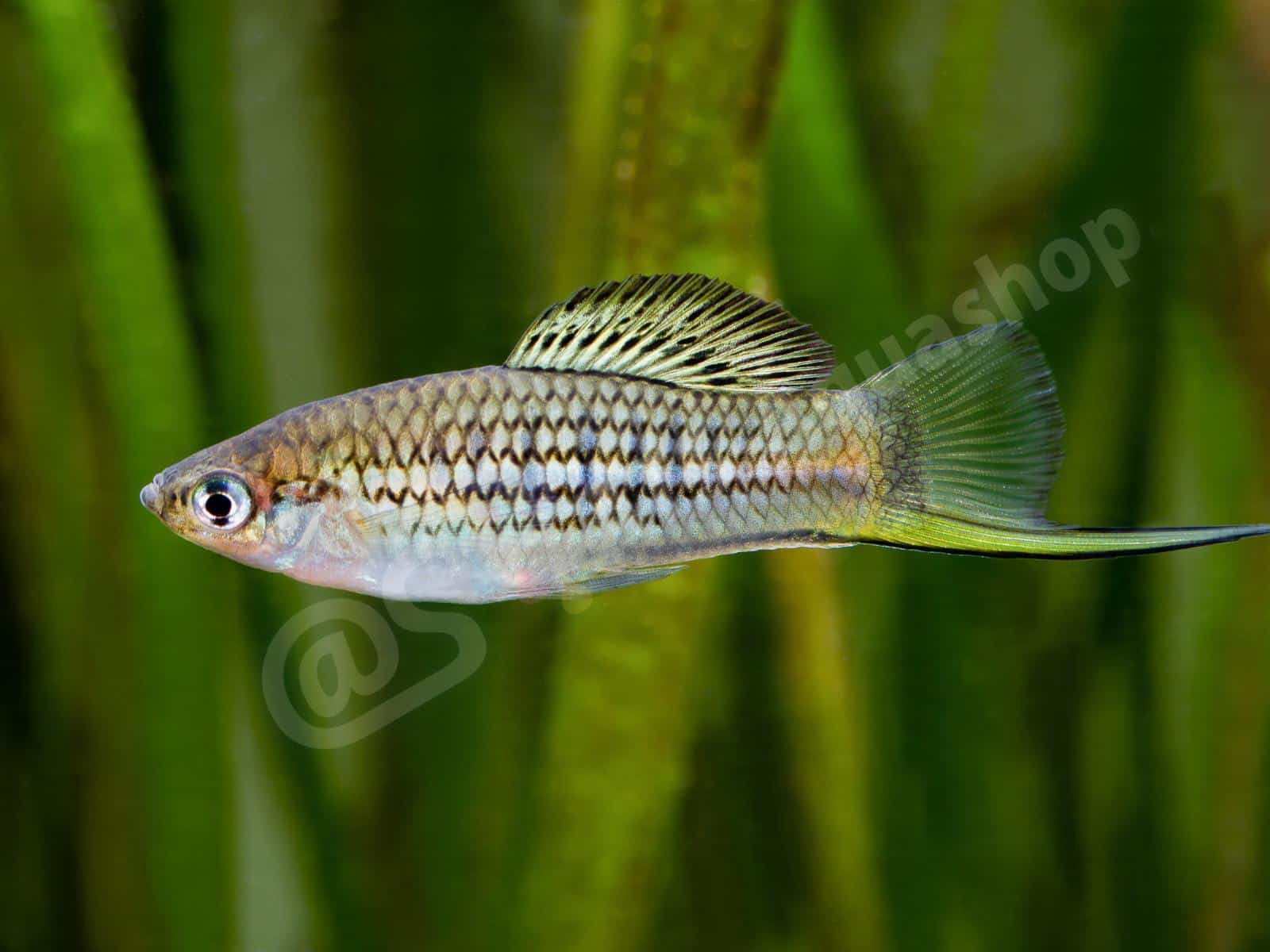 xiphophorus nezahualcoyotl elke weiand 0321 8