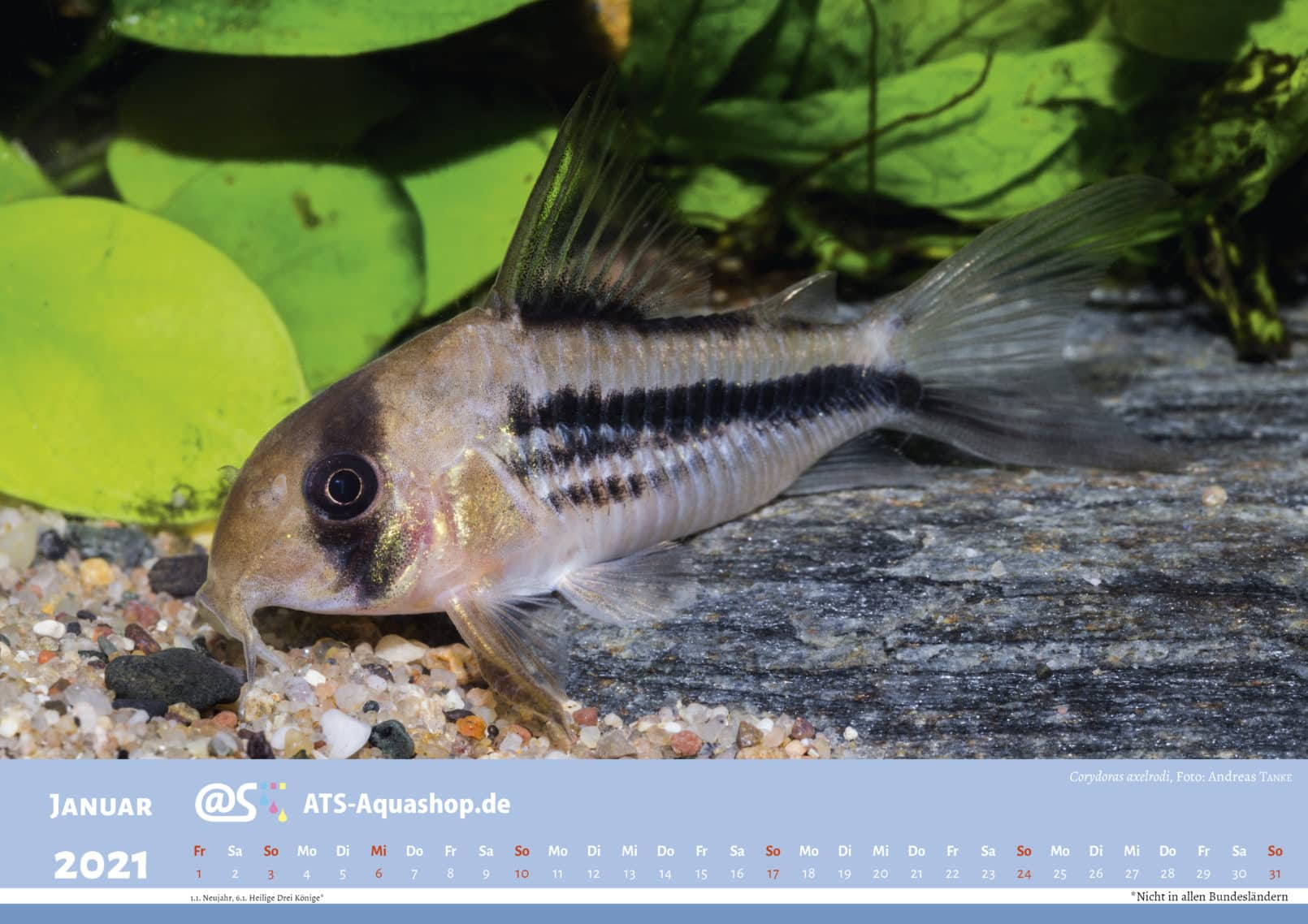 ATS-Aquashop Annual Photo calendar for 2021 DIN A3 (January): Corydoras axelrodi