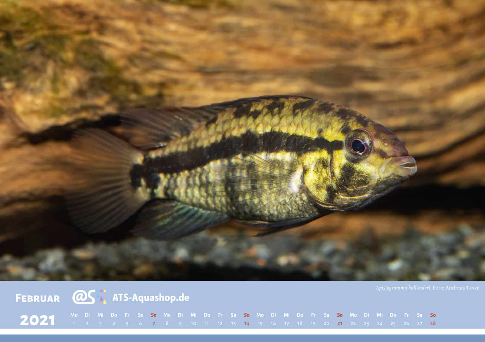ATS-Aquashop Annual Photo calendar for 2021 DIN A3 (February): Apistogramma kullanderi