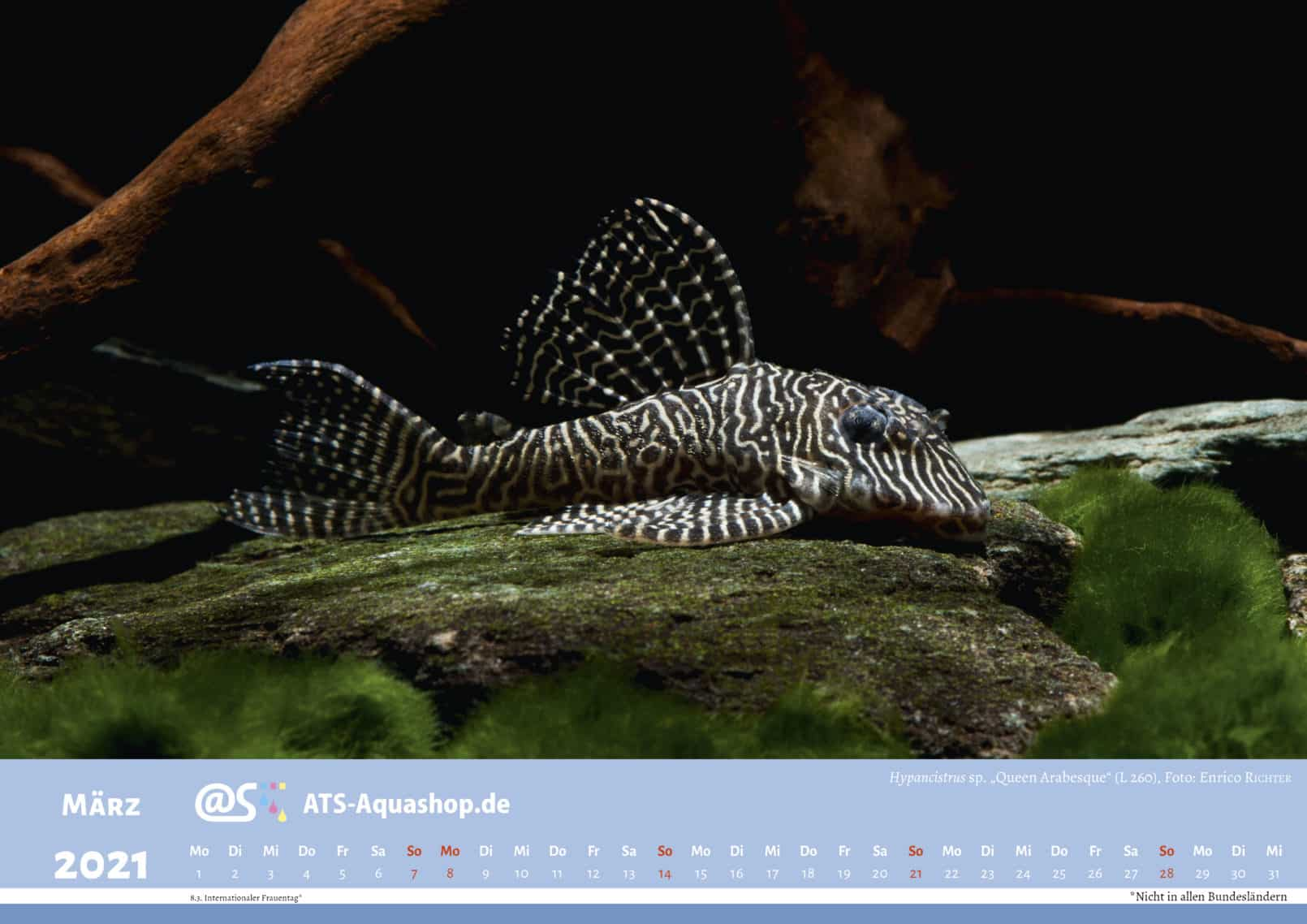 "ATS-Aquashop Annual Photo calendar for 2021 DIN A3 (March): Hypancistrus sp. ""Queen Arabesque"" (L 260)"