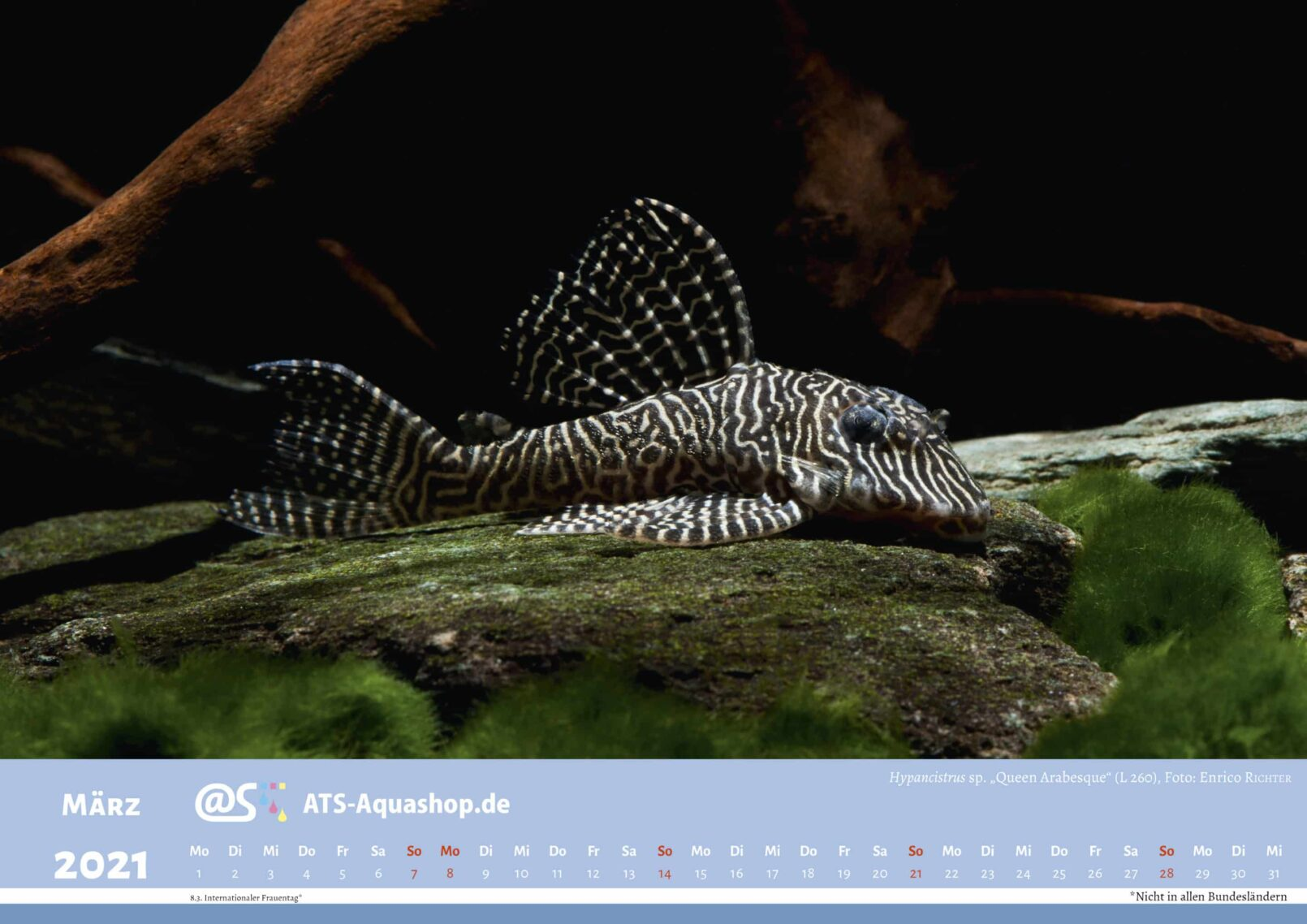 """ATS-Aquashop Foto Jahreskalender 2021 DIN A3 (März): Hypancistrus sp. """"Queen Arabesque"""" (L 260)"""