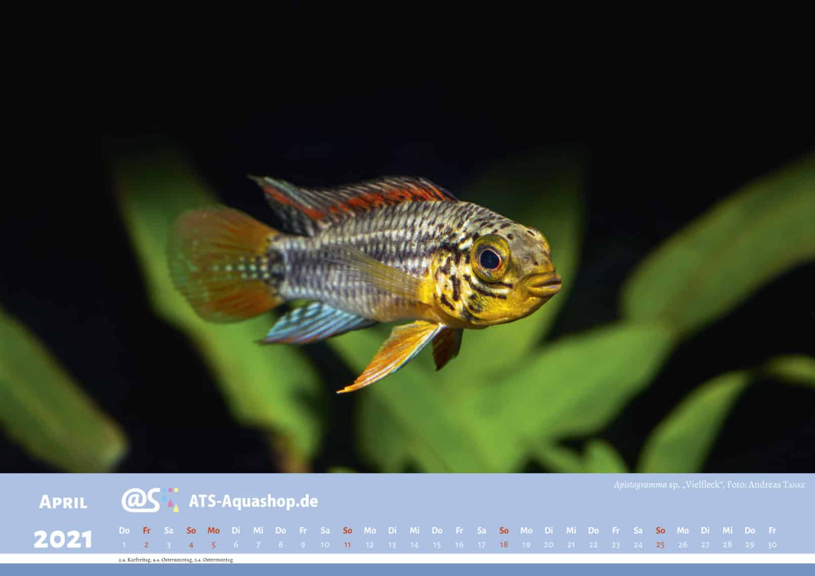 "ATS-Aquashop Annual Photo calendar for 2021 DIN A3 (April): Apistogramma sp. ""Vielfleck"""
