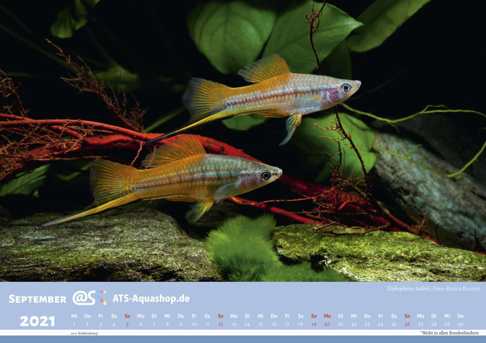Photo calendar for the year 2021 DIN A3 (Oktober): Xiphophorus hellerii