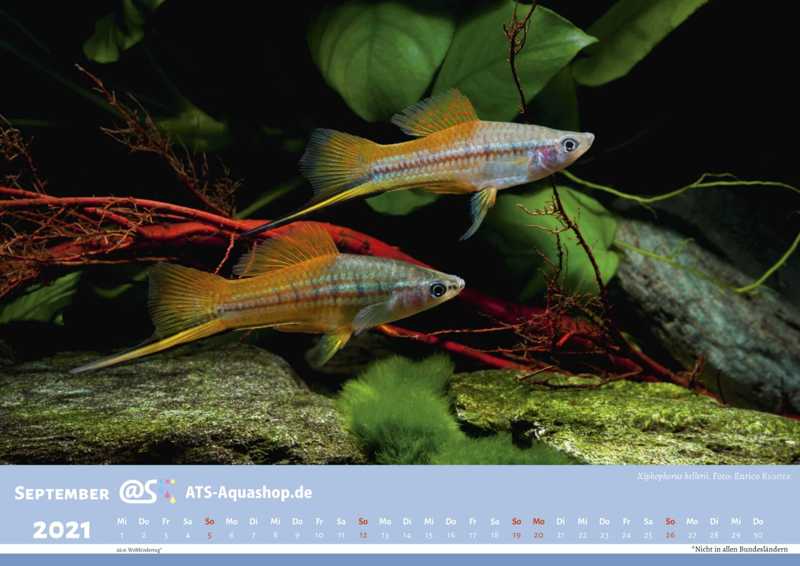 ATS-Aquashop Foto Jahreskalender 2021 DIN A3 (September): Xiphophorus hellerii