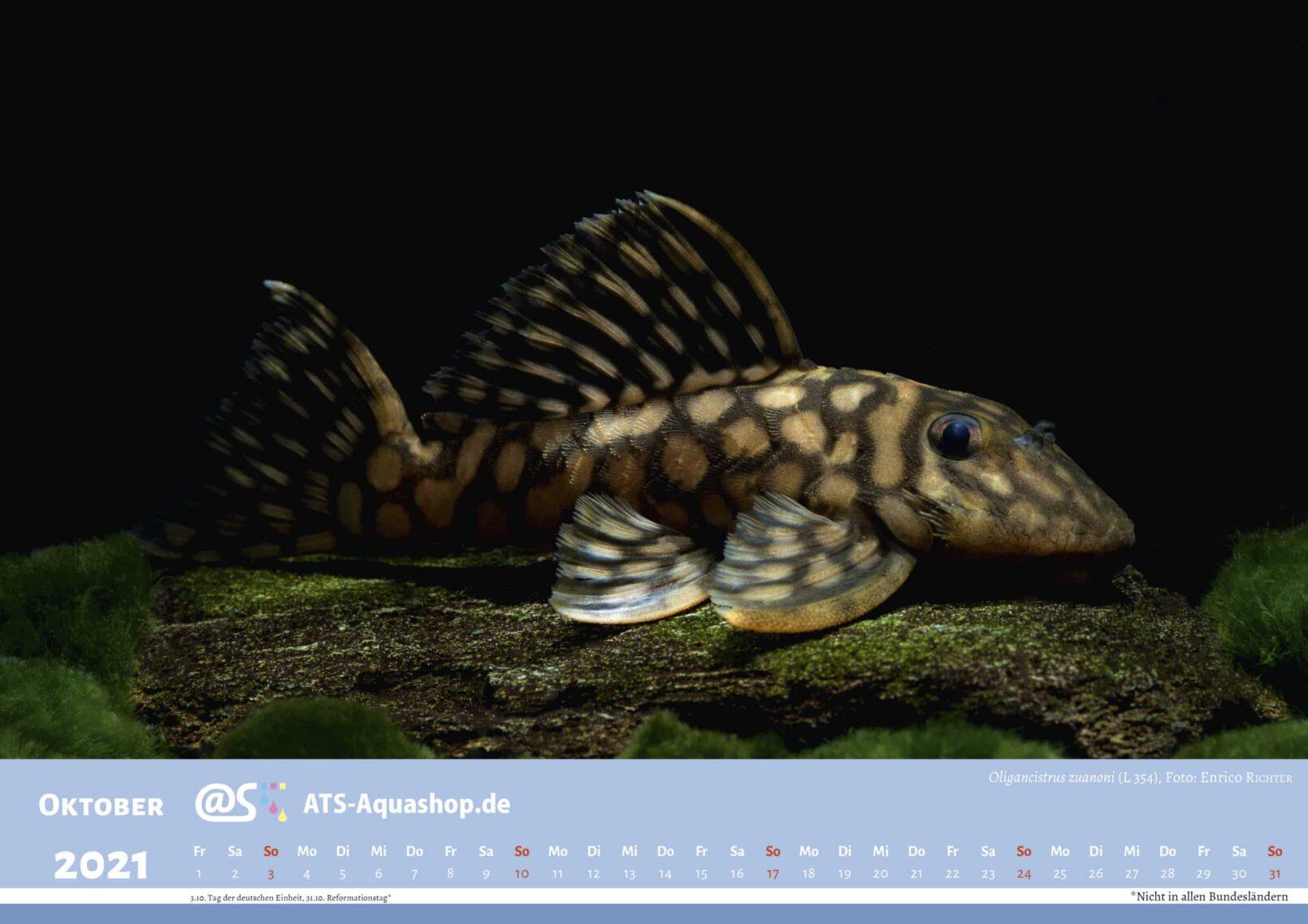 ATS-Aquashop Foto Jahreskalender 2021 DIN A3 (Oktober): Oligancistrus zuanoni (L 20) / Spectracanthicus zuanoni (L 20)