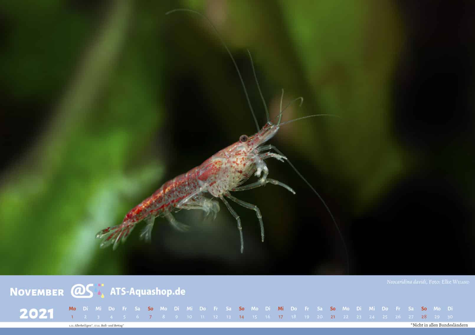 Photo calendar for the year 2021 DIN A3 (November): Neocaridina davidi