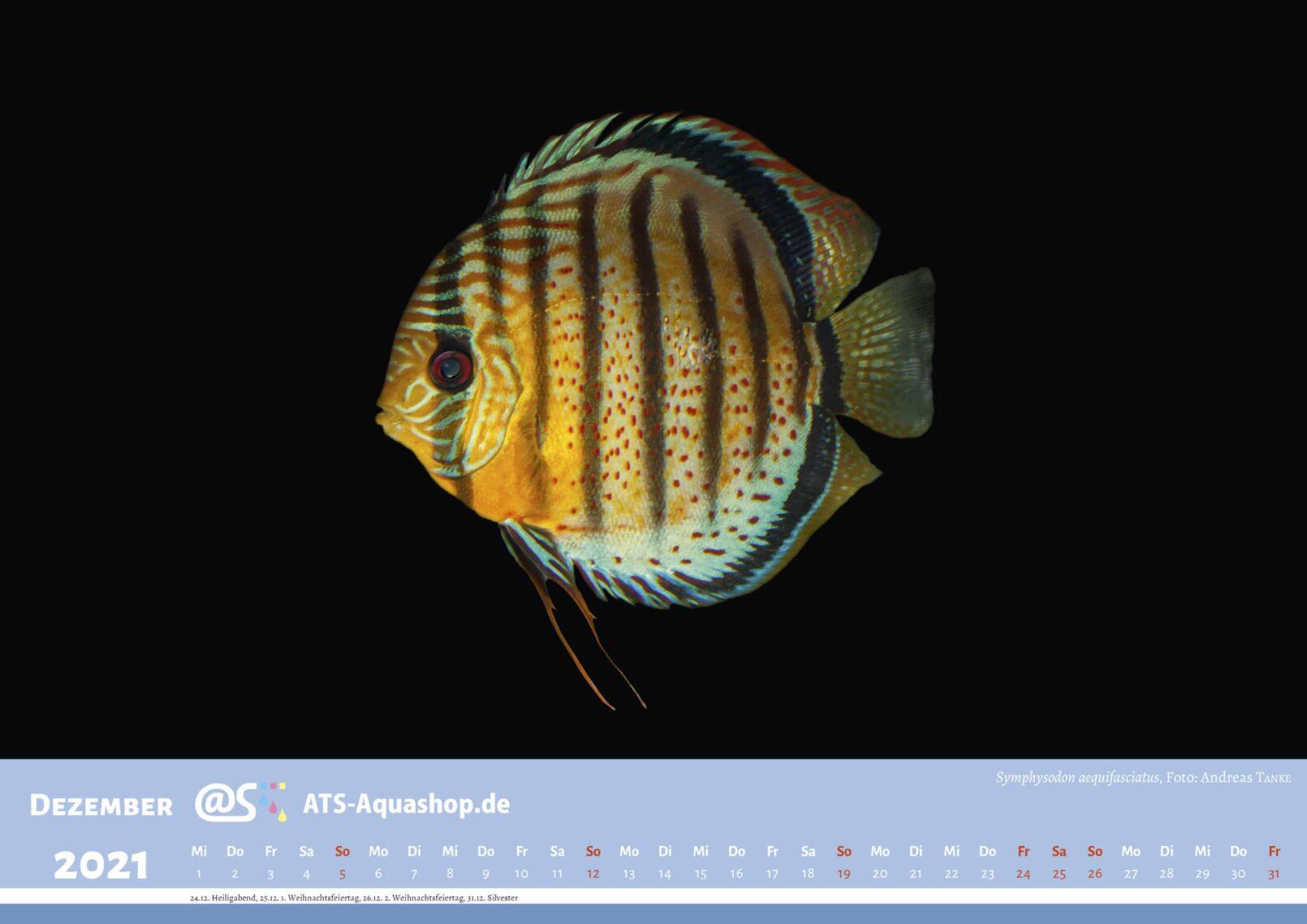 ATS-Aquashop Foto Jahreskalender 2021 DIN A3 (Dezember): Symphysodon aequifasciatus