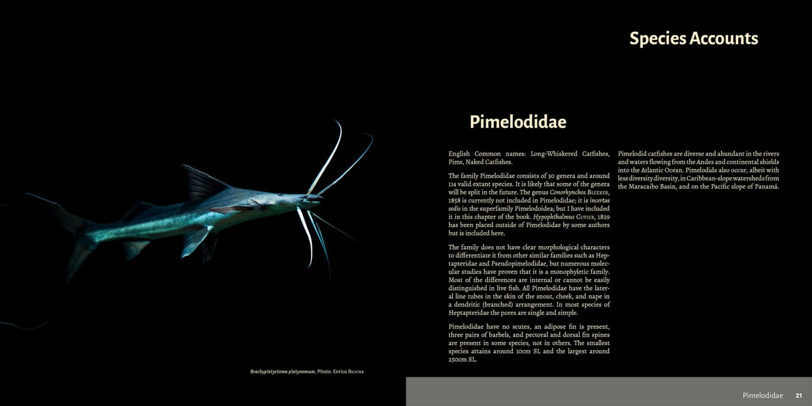 Pims - Pimelodidae,  Heptapteridae and  Pseudopimelodidae Catfishes / Steven Grant pages 20, 21